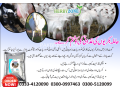moringa-goat-powder-small-4