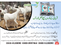 moringa-goat-powder-small-2
