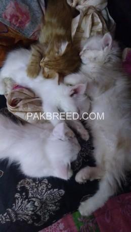 persian-turkish-kashmiri-cats-big-2