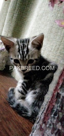 male-kittens-for-sale-big-0