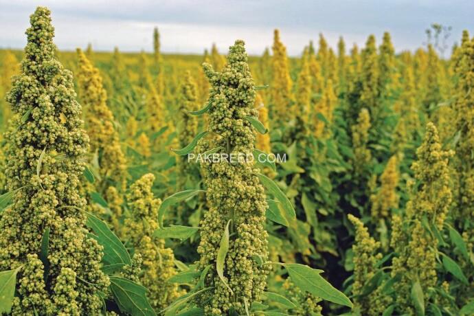 quinoa-seeds-big-3