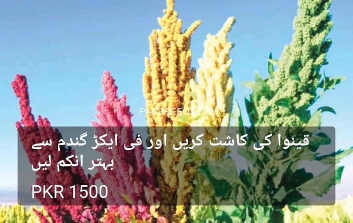 quinoa-seeds-big-2