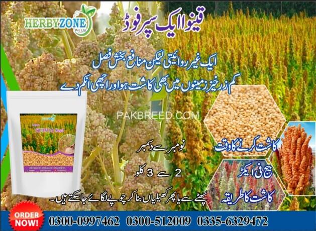 quinoa-seeds-big-0