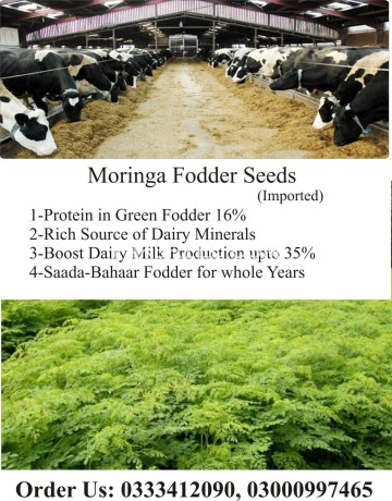 moringa-fodder-seeds-big-4