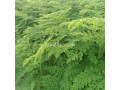 moringa-plants-small-2