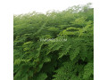 moringa-plants-small-1