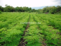 moringa-plants-small-0
