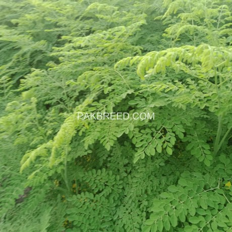 moringa-plants-big-2