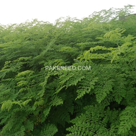 moringa-plants-big-1