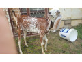 goats-small-4