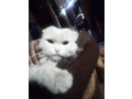 free-adoption-persian-triple-coated-cat-small-1
