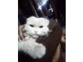 free-adoption-persian-triple-coated-cat-small-1