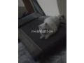 free-adoption-persian-triple-coated-cat-small-2