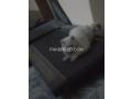 free-adoption-persian-triple-coated-cat-small-2