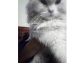free-adoption-persian-triple-coated-cat-small-4