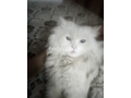 free-adoption-persian-triple-coated-cat-small-3