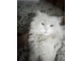free-adoption-persian-triple-coated-cat-small-3