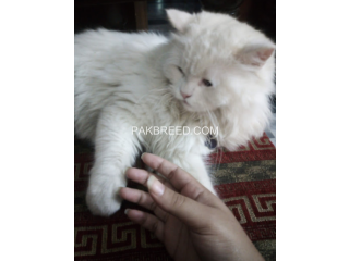 Free adoption persian triple coated cat