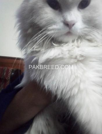 free-adoption-persian-triple-coated-cat-big-4