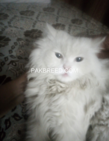 free-adoption-persian-triple-coated-cat-big-3