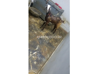 Beautiful active goats for sale