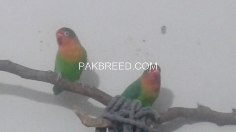 pair-of-lovebirds-big-2
