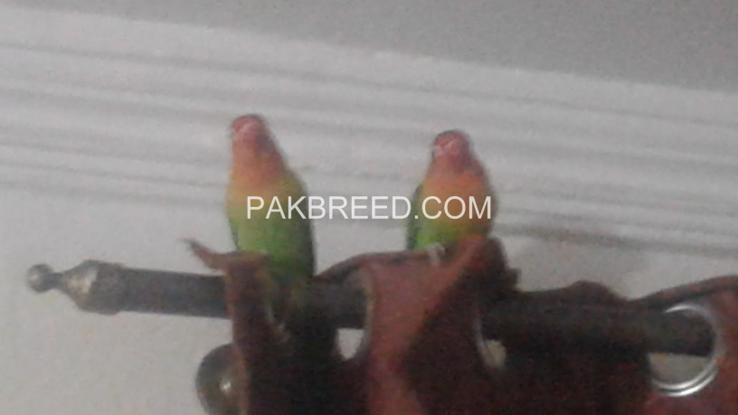 pair-of-lovebirds-big-3
