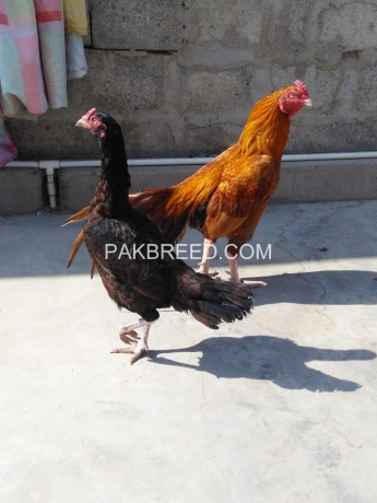 aseel-pair-for-sale-big-0