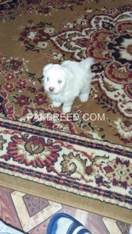 american-poodle-malties-poppies-avail-for-sale-big-1