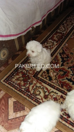 american-poodle-malties-poppies-avail-for-sale-big-0
