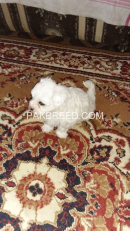 american-poodle-malties-poppies-avail-for-sale-big-2