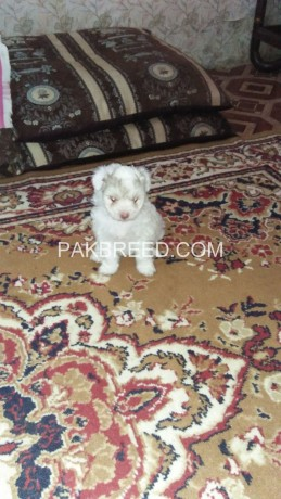 american-poodle-malties-poppies-avail-for-sale-big-3