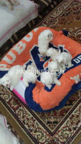 american-poodle-malties-poppies-avail-for-sale-big-4
