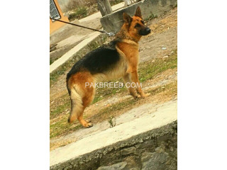 Yang breeder gsd female sale