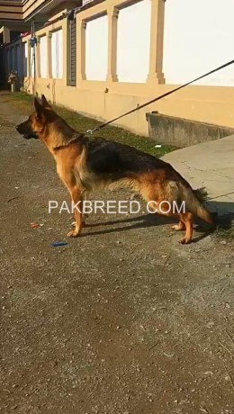 yang-breeder-gsd-female-sale-big-2