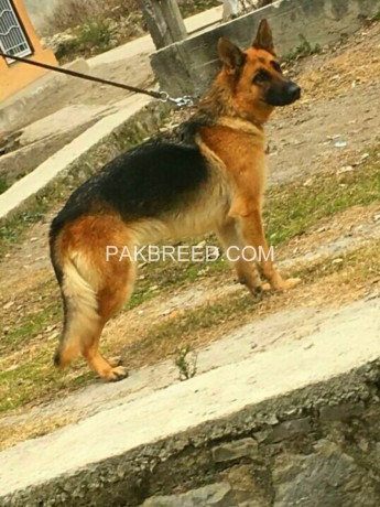yang-breeder-gsd-female-sale-big-3