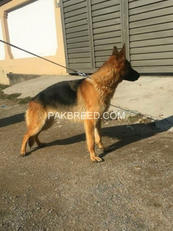 yang-breeder-gsd-female-sale-big-1