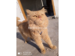 Persian male for sale or exchange