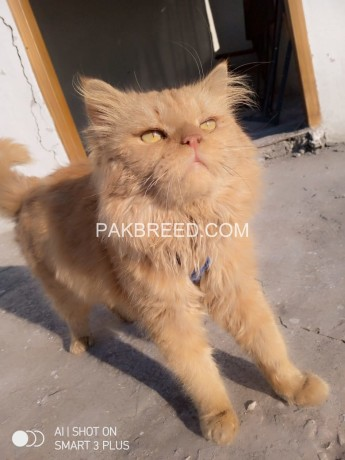 persian-male-for-sale-or-exchange-big-0