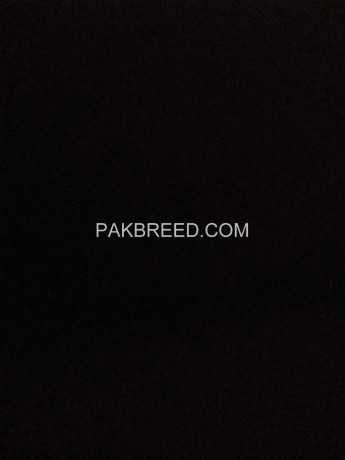 male-donkey-for-sale-in-sialkot-big-0