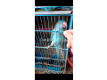 blue-ringneck-female-small-1