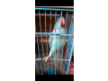 blue-ringneck-female-small-0