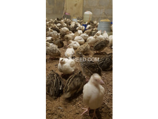 Ready Quails for Sale
