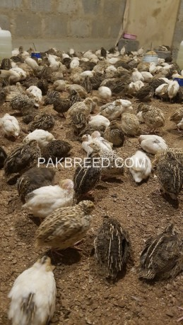 ready-quails-for-sale-big-2