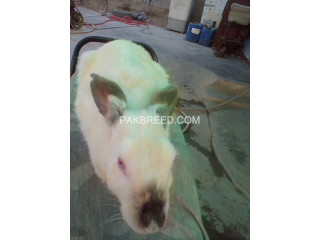 California rabbit to females and bunnies and local breed are anailable here