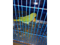 raw-parrot-small-0