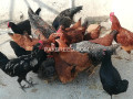 australorp-and-rir-plymouth-pair-6-month-old-pure-vacinated-desi-khurak-small-1