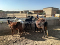 kheeray-wachay-available-for-sale-for-meat-in-karachi-small-4