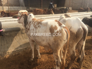 Kheeray wachay available for sale for meat in Karachi