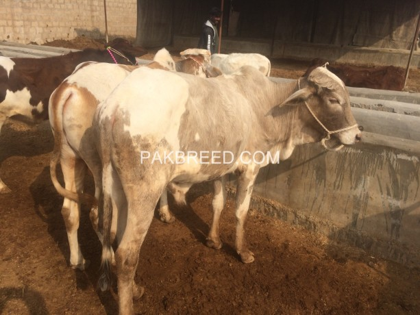 kheeray-wachay-available-for-sale-for-meat-in-karachi-big-1